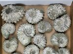 Wholesale: 5Kg Bumpy Ammonite (Douvilleiceras) Fossils - 23 pieces - #103222-1